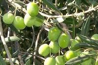 Zaitoon - Olive